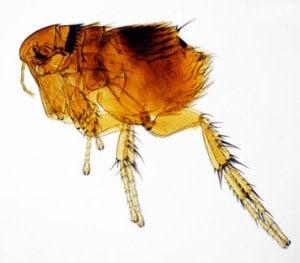 Floh unter dem Mikroskop