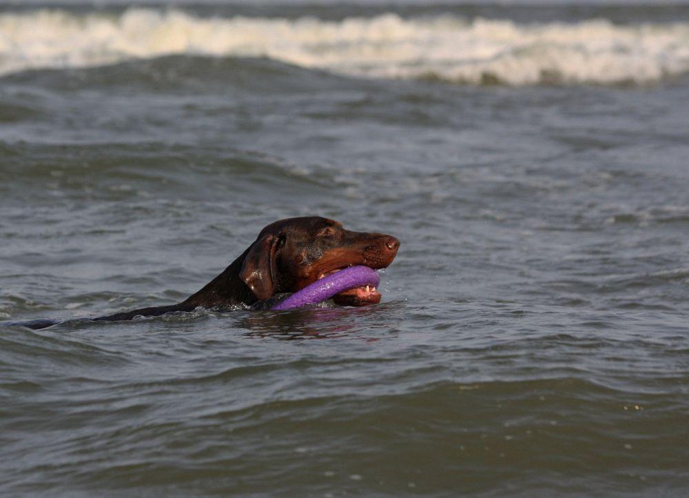 Dobermann im Wasser