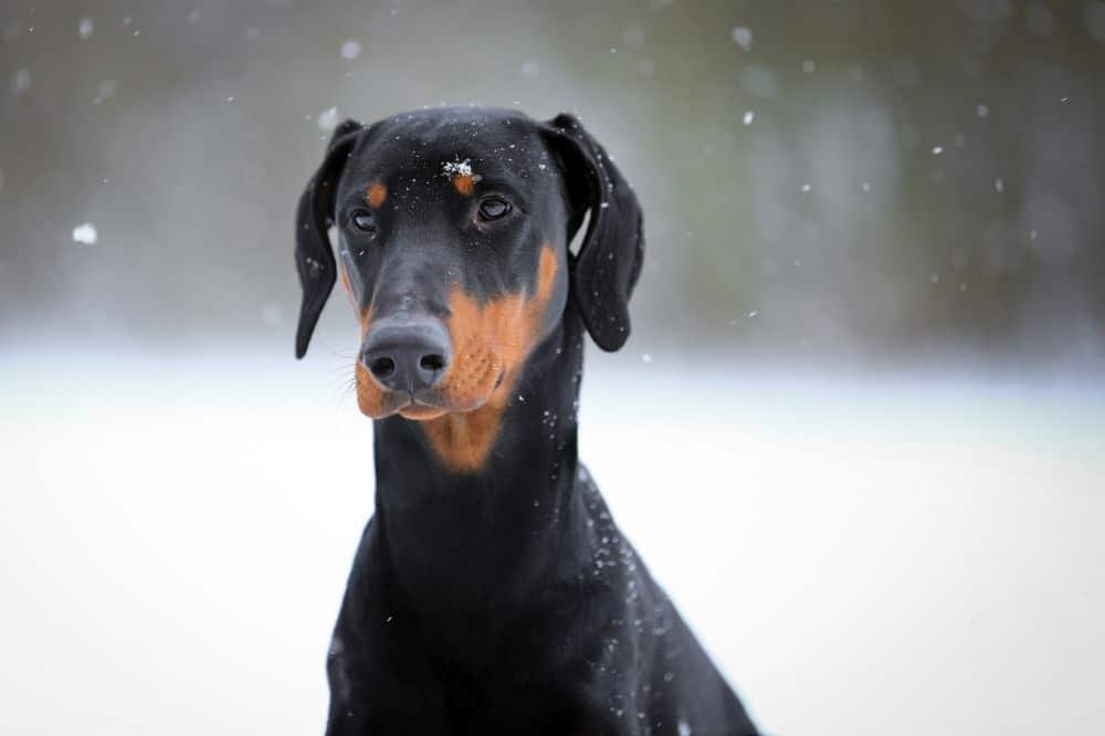 Hund - Dobermann - kaufen