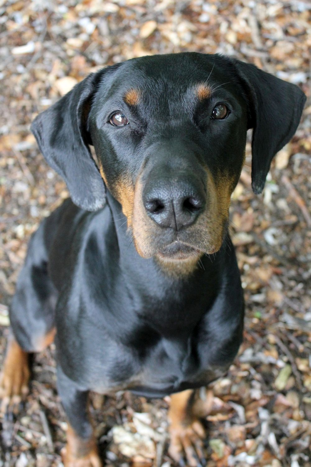 Dobermann in Not aus dem Tierheim