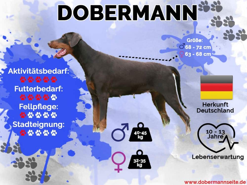Infografik zur Hunderasse Dobermann