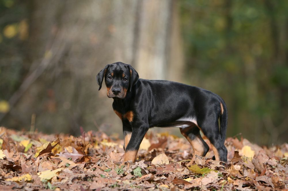 Dobermann Welpe im Wald