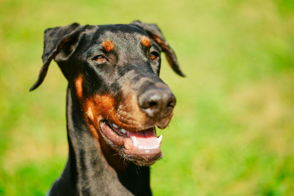 Dobermann Hund auf Rasen