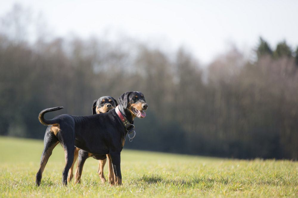 Lebenserwartung Dobermann