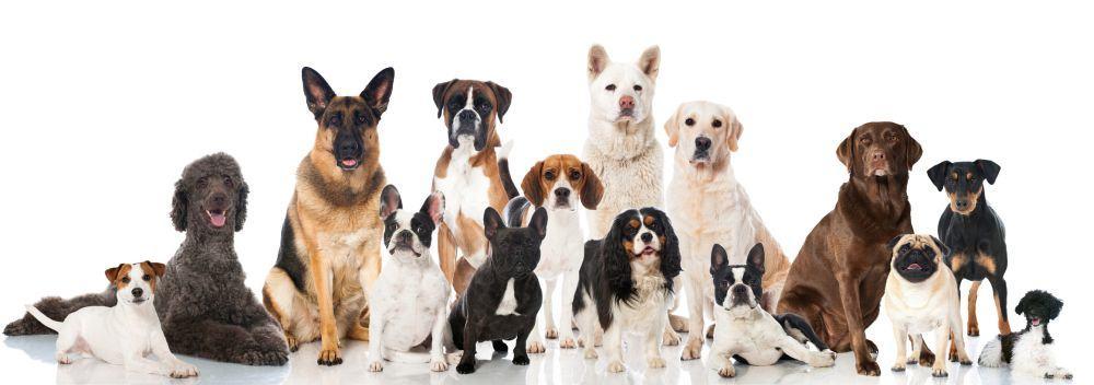 Lebensdauer des Dobermanns im Vergleich mit anderen Hunderassen