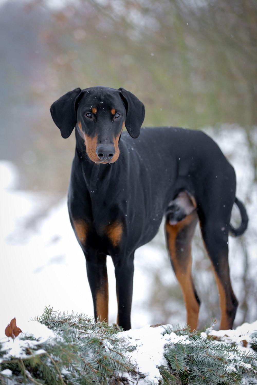 Gerade im Winter benötigen die Fußballen des Dobermann besondere Aufmerksamkeit!
