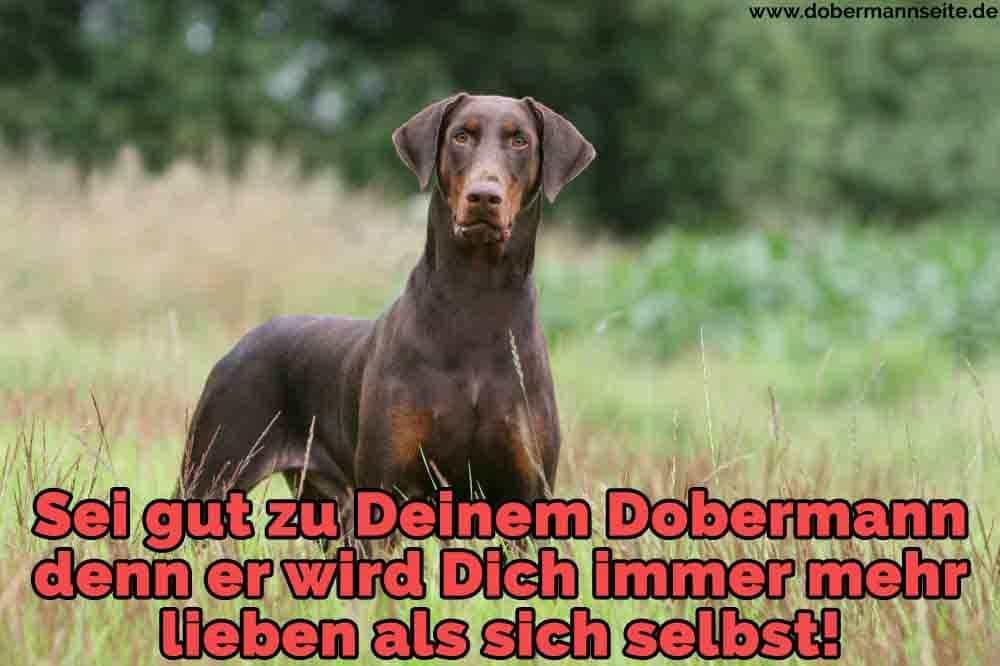 Ein trauriger Dobermann im Garten