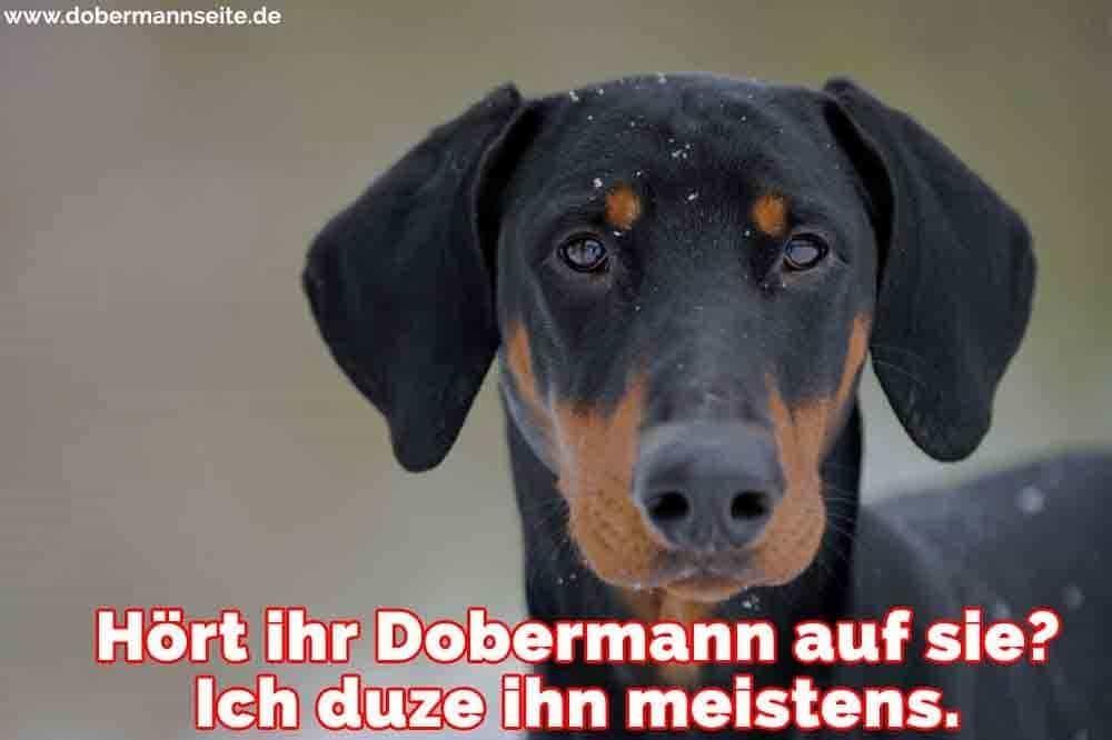 Ein trauriger Dobermann im Schnee