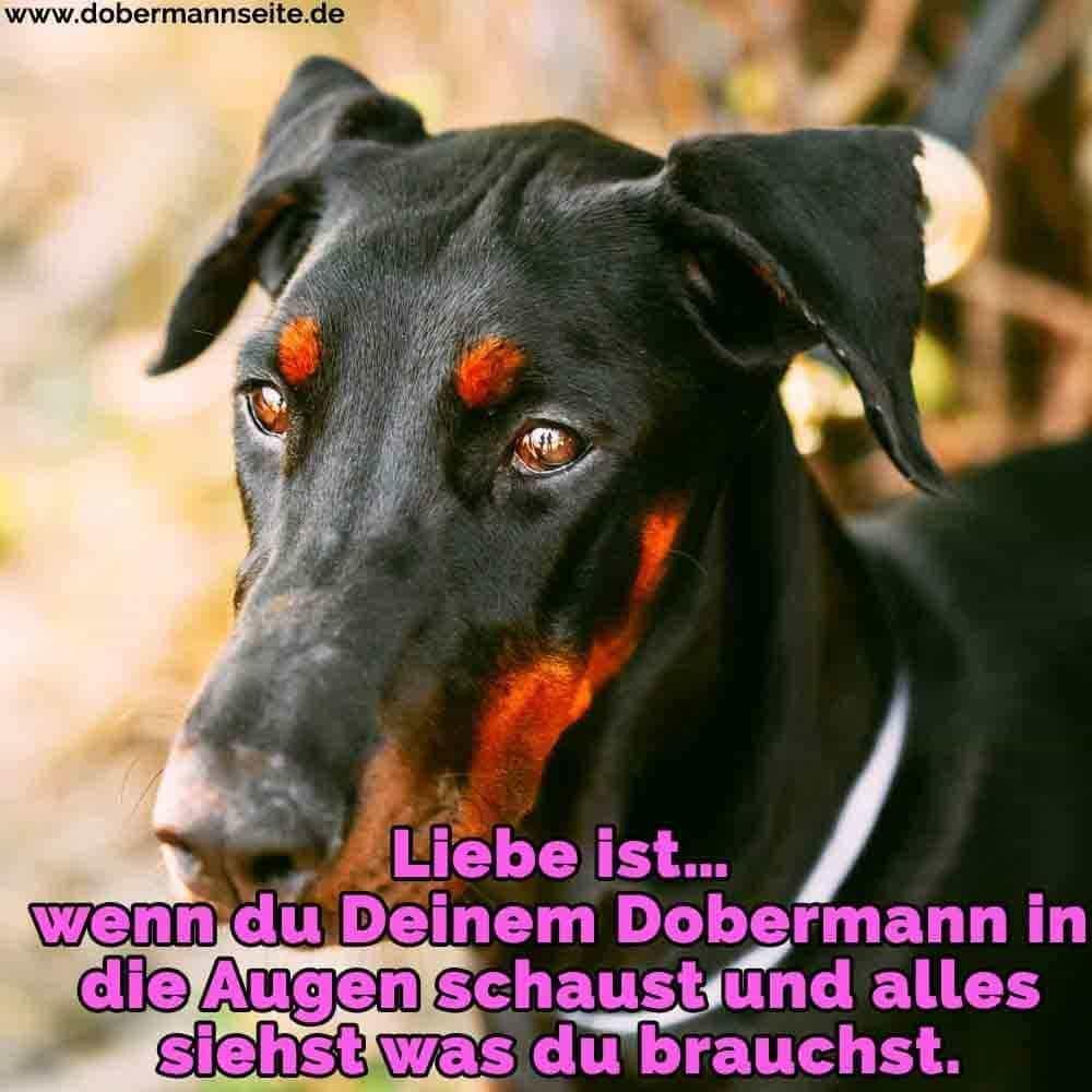 Ein trauriger Dobermann