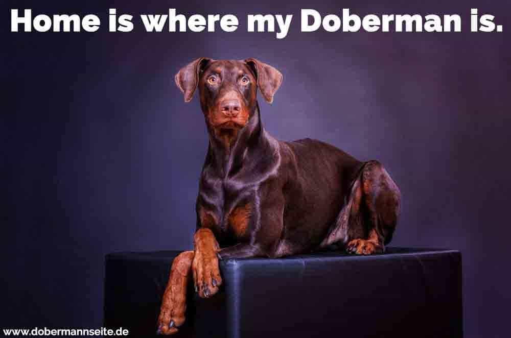 Ein Dobermann in einem Puff sitzt
