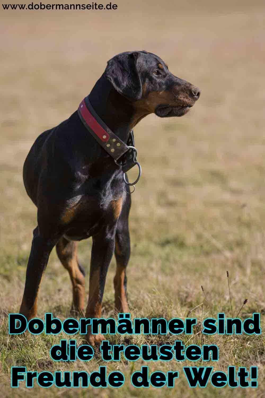 Ein Dobermann im Feld