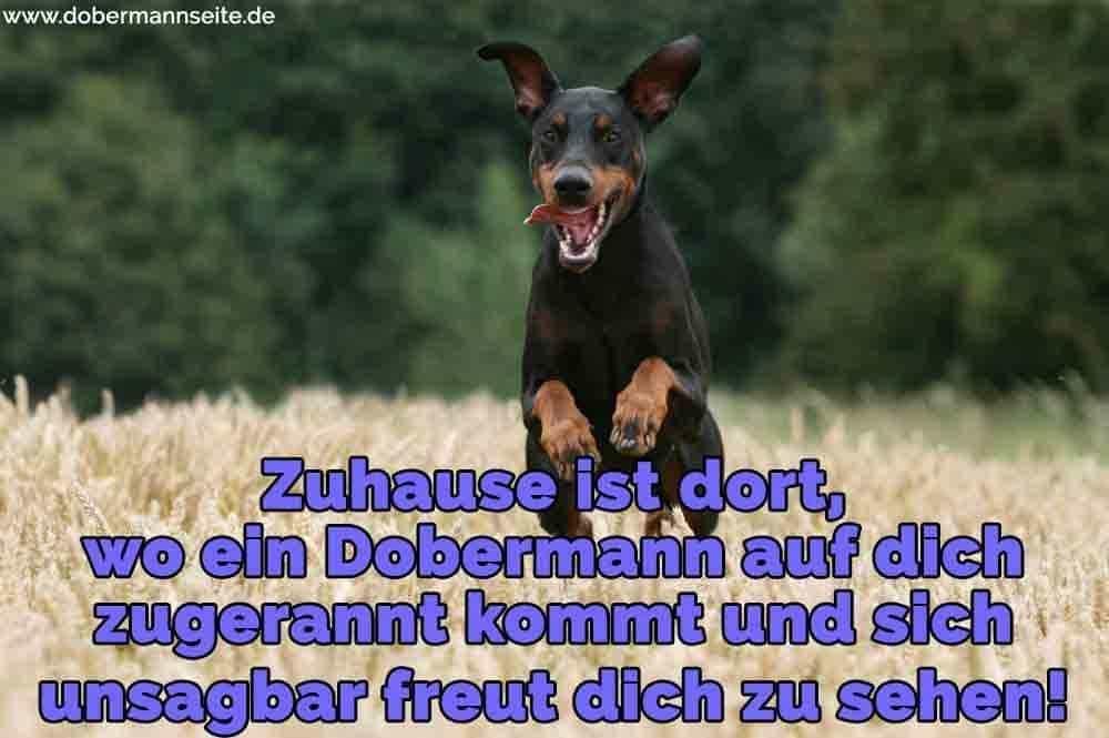 Ein Dobermann im Feld rennen