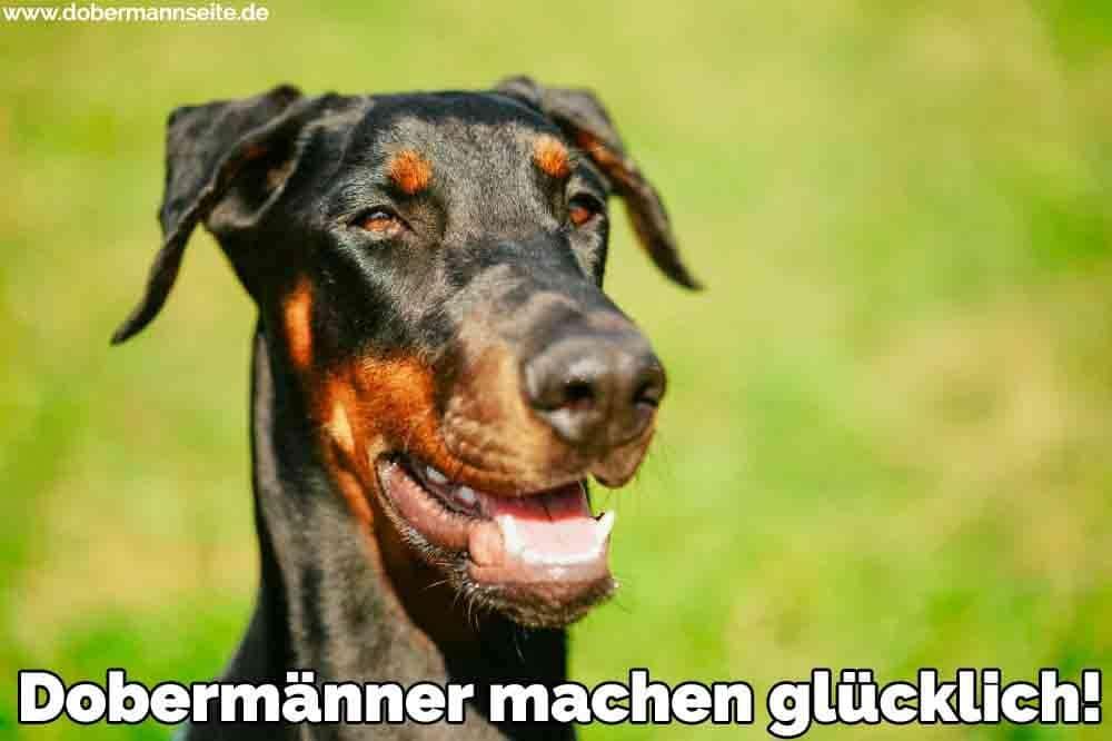Ein glücklicher Dobermann