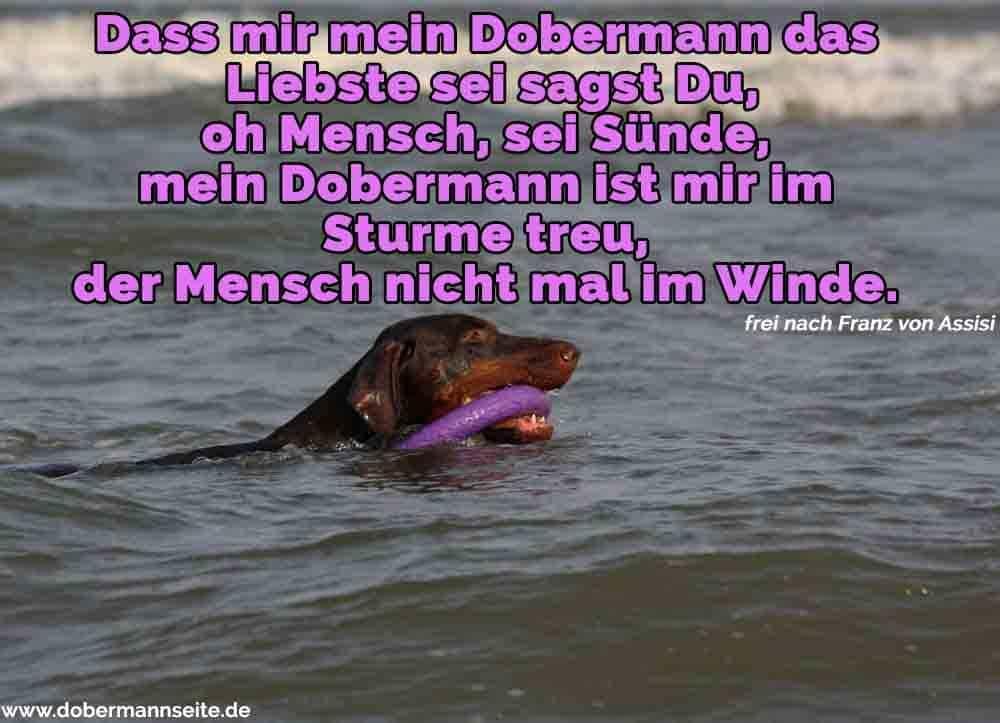 Ein Dobermann Schwimmen im Meer