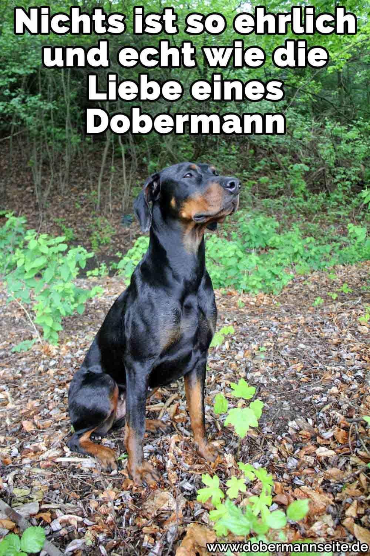 Ein Dobermann sitzt im Wald
