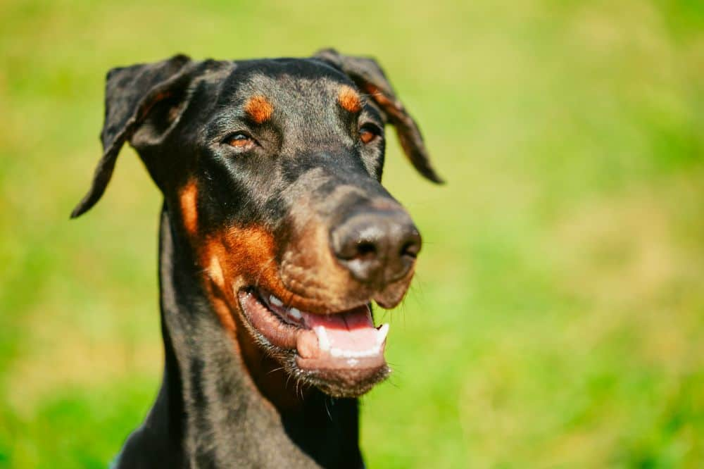 Dobermann Hund Close Up