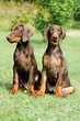 two doberman puppys