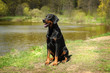 a big black dog sitting on a background of a beautiful lake on a Sunny day. Doberman, police, obedience
