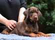 Puppy doberman pinscher 2 month old